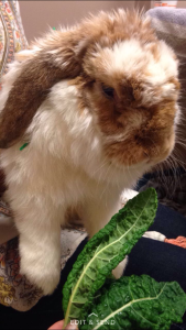 Bunny receiving acupuncture for arthritis. Acupuncture is very successful for bunnies with chronic pain, arthritis and spinal fractures.